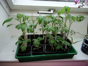 Små tomatplanter støttes med et grillspyd